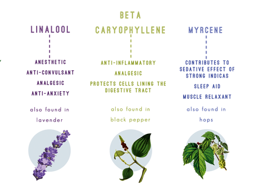 over 200 terpenes found in cannabis   (of course they are incredibly important ! )